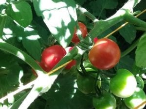 tomatoes in the Flathead valley